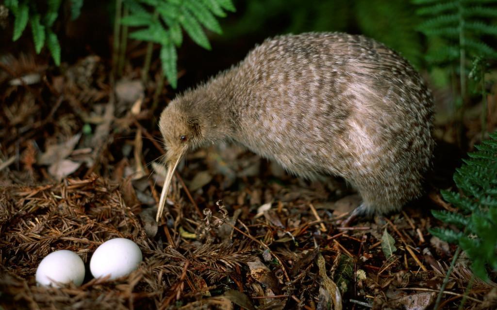 Тур в Новую Зеландию для орнитологов - Птица киви