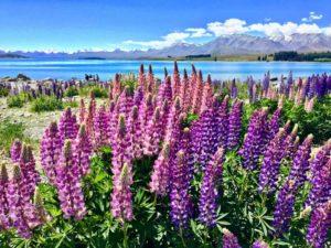 Тур в Новую Зеландию на озеро Текапо